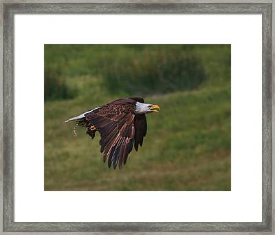 Eagle With Prey Framed Print