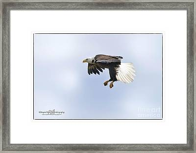 Eaglelanding Approach Framed Print by Wayne Bennett
