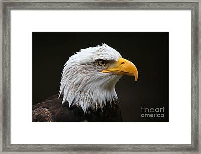 Bald Eagle Profile Framed Print by John Roberts