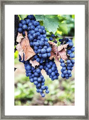 Early Autumn Grapes Framed Print by Georgia Fowler