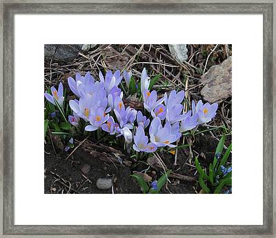Early Crocuses Framed Print