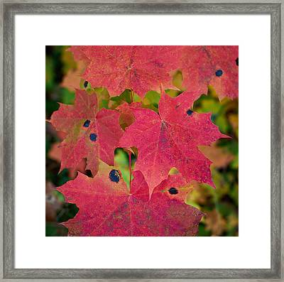 Early Fall Of Norway Maple Framed Print by Jouko Lehto