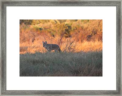 Early Morning Coyote Framed Print