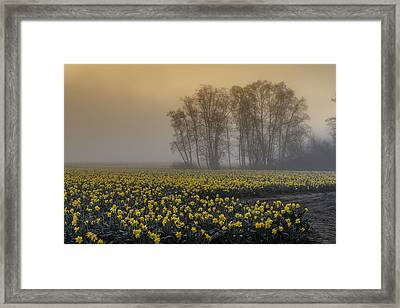 Early Morning Daffodil Fog Framed Print