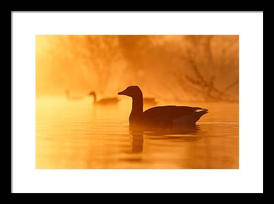 Geese Framed Prints