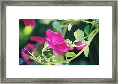 Framed Print featuring the photograph Early Morning Petunias by Alan Lakin