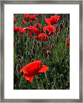 Early Morning Poppies Framed Print by Dorothy Berry-Lound