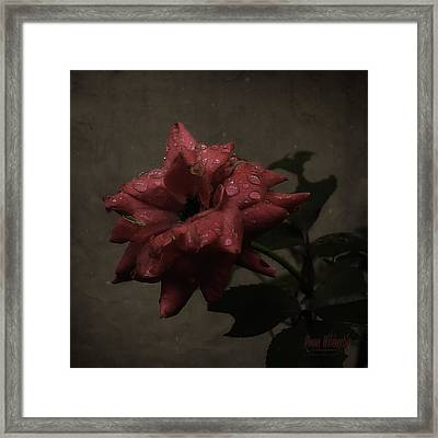 Early Morning Rose Framed Print