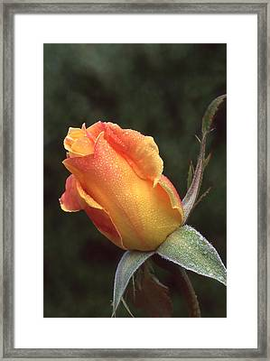 Early Morning Rosebud Framed Print