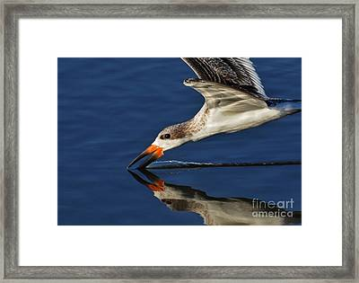 Early Morning Skimmer Framed Print by Kathy Baccari