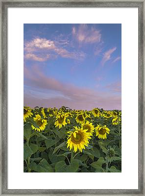 Early Morning Sunflowers Framed Print by Thomas Pettengill