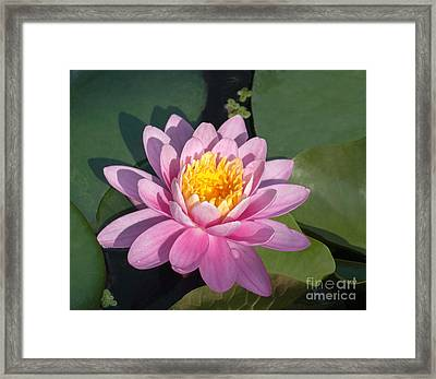 Early Morning Water Lily Framed Print