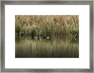 Early Morning Wood Ducks Framed Print