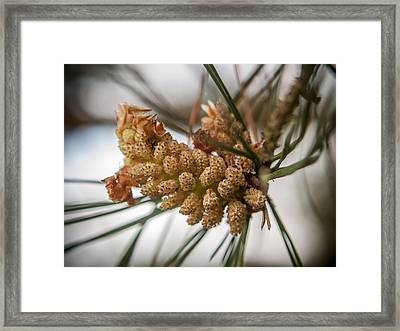 Early Pinecones Framed Print