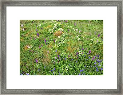 Early Purple Orchid Framed Print