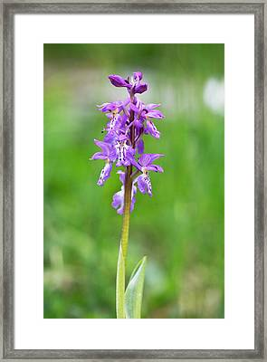 Early Purple Orchid (orchis Ichnusae) Framed Print