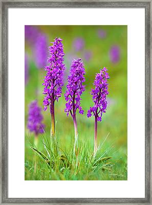 Early Purple Orchid (orchis Mascula) Framed Print