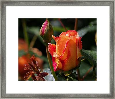Early Roses Framed Print by Rona Black