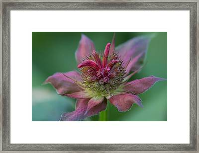 Early Spring Bee Balm Bud Framed Print