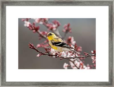 Early Spring Gold Finch Framed Print by Lara Ellis