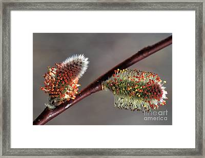 Early Spring Framed Print by Inge Riis McDonald