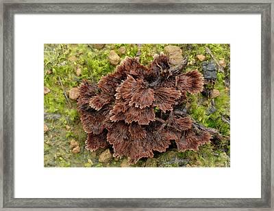 Earth-fan Fungus (thelephora Terrestris) Framed Print by Nigel Downer