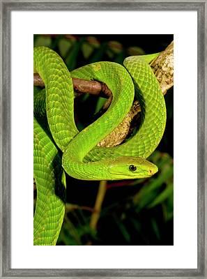 East African Green Mamba, Dendroaspis Framed Print by David Northcott