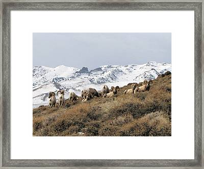 East Humboldt Rams Framed Print