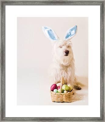 Easter Bunny Westie Framed Print by Edward Fielding