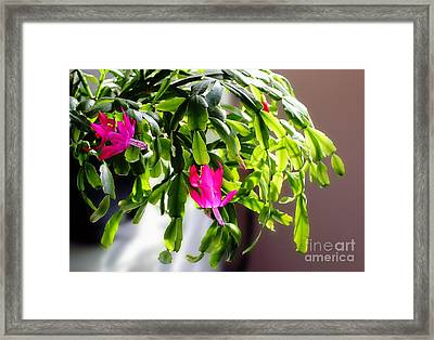 Easter Cactus In The Sun Framed Print by Barbara Griffin