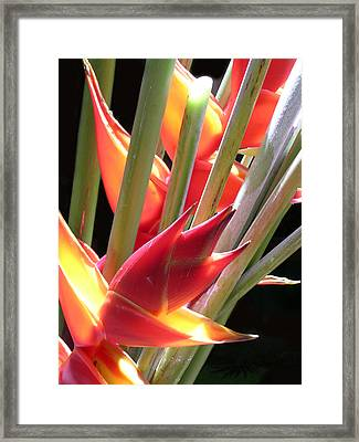 Easter Heliconia Framed Print