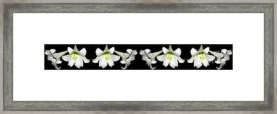 Easter Lilies Panorama Framed Print