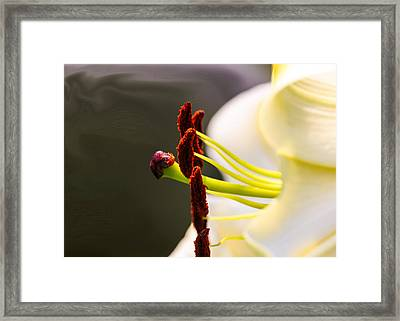 Easter Lily Framed Print by Omaste Witkowski