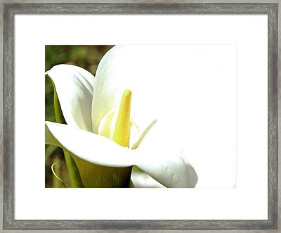 Easter Lily Framed Print by Pamela Patch