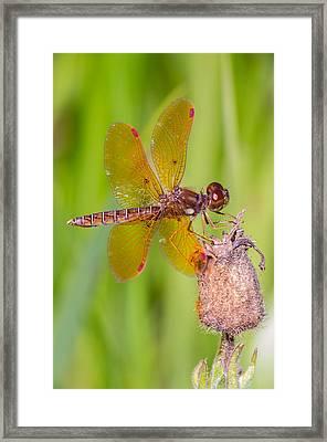Eastern Amberwing Framed Print