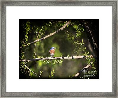 Eastern Blue Bird At Sunrise Framed Print by Cris Hayes