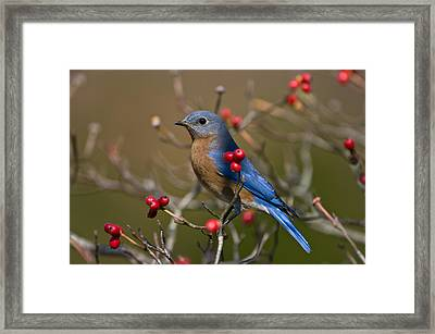 Eastern Bluebird - 2531 Framed Print