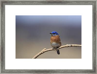 Eastern Bluebird 3 Framed Print