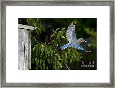 Eastern Bluebird Framed Print by Anthony Mercieca
