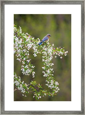 Eastern Bluebird Framed Print