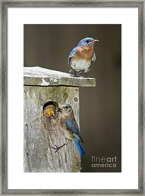 Eastern Bluebird Family Framed Print