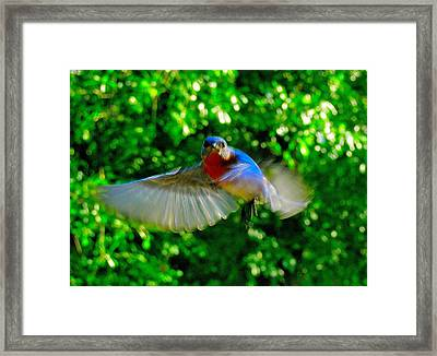 Eastern Bluebird In Flight Framed Print by Cindy Croal