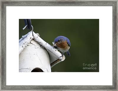 Eastern Bluebird Framed Print by Linda Freshwaters Arndt