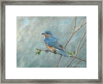 Eastern Bluebird Framed Print by Rob Dreyer