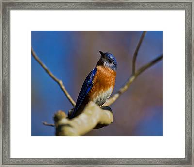 Eastern Bluebird Framed Print by Robert L Jackson