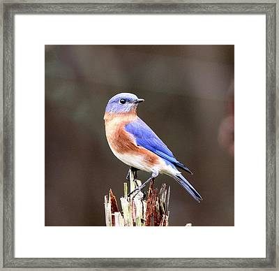 Eastern Bluebird - The Old Fence Post Framed Print