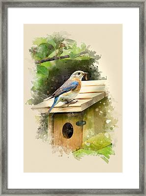 Eastern Bluebird Watercolor Art Framed Print by Christina Rollo