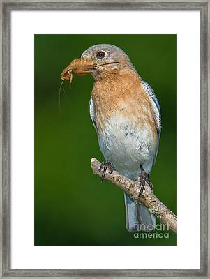 Eastern Bluebird With Katydid Framed Print by Jerry Fornarotto