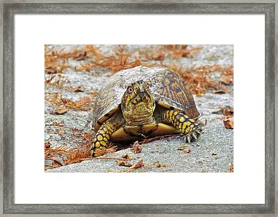 Framed Print featuring the photograph Eastern Box Turtle by Cynthia Guinn