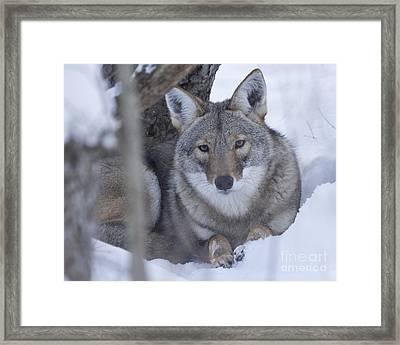Eastern Coyote In Winter Framed Print by Deborah Smith
